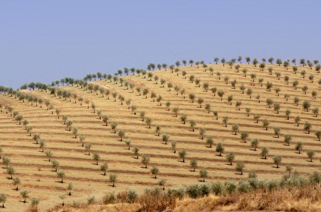 Suggerimenti per un nuovo oliveto